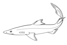 Spiny Dogfish (Spurdog). Vector Clipart. All Elements Are Colorable.