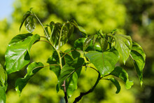 Close-up Of Fresh Spring Green Leaves Hovenia Dulcis, Known As Japanese Or Oriental Raisin Tree In Arboretum Park Southern Cultures In Sirius (Adler) Sochi.