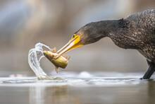 Great Cormorant Eating Black Bullhead Fish