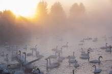 Wintering Of White Swans Trumpeters In The Morning Fog On An Ice-free Lake
