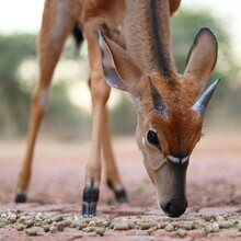 Close Up Profile Portrait Of A Juvenile Nyala Antelope With Short Horns Eating Dry Grass Pellets, South Africa