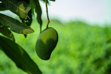 The Green Sour Raw Mango Front On The Jute Stick Plant Green Background