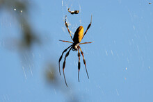 Sunlit Argiope Aurantia Black And Yellow Garden Spider On Web
