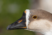 An Chinese Goose Derived From The Swan Goose (Anser Cygnoides)