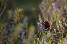 Vanessa Atalanta, The Red Admiral Or, Previously, The Red Admirable
