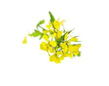 Mustard Flower Blossom, Canola Or Oilseed Rapeseed.