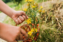 Cutting Hand St. John's Wort. Hypericum - St Johns Wort Plants Yellow Flower Used In Alternative Medicine. Medicinal Herbs Hypericum For Homeopathic Remedies