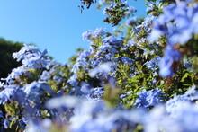 Blue Sky And Blue Flowers