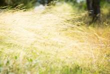 Dry White Flower In Wet Green Grass. Fresh Outdoor Nature Background