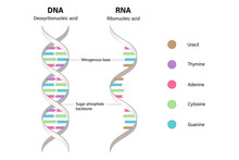 Difference Between Of DNA And RNA. Structure Of DNA And RNA. Deoxyribonucleic Acid. Ribonucleic Acid.