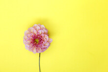 Dahlia Pink Flower On Yellow Background.