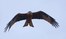 Black Kite (Milvus Migrans) Flying With Spreaded Wings In Search Of Prey