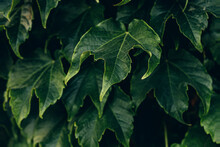 Natural Dark Green Background With Grape Leaves Close-up