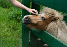 Girl Stroking Pony With Blue Eyes. Foal Tactile Therapy Concept And Friendship With Animals