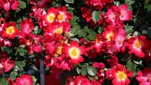 公園に咲く赤いバラ