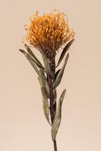 Dried Orange Pincushion Protea Flower On A Brown Background