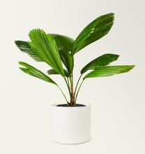 Ruffled Fan Palm In A Ceramic Pot