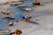 Wild Duck On Dirty Gray Ice Among Garbage, Empty Bottles And Dirty Water