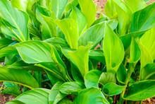 Zantedeschia Aethiopica - Calla Lily Or Arum Lily, Ornamental Plant In A Garden