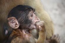 Baby Berberaffe