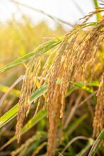 Bent Ears Of Rice In Autumn