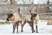 Portrait Of Two Reindeer In Winter In Snowy Weather