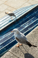 Seagull On The Edge Of A Wall, And In The Background Another On A Blue Board