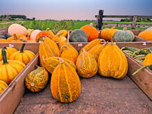 Different Kind Of Pumpkins On A Wooden Cart In The Countryside From The Netherlands