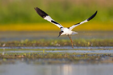 An Adult Pied Avocet (Recurvirostra Avosetta) Taking Off From The Ground