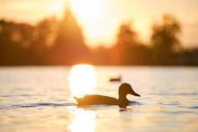 Wild Ducks Swimming On Lake Water At Bright Sunset. Birdwatching Concept.