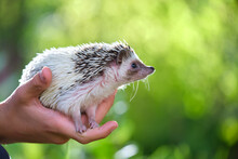 Human Hands Holding Little African Hedgehog Pet Outdoors On Summer Day. Keeping Domestic Animals And Caring For Pets Concept.
