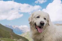 Large White Dog On A Background Of Mountains. Italian Shepherd Moremma.