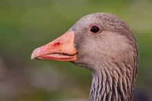 Greylag Goose Head Close-up (Anser Anser)