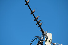 Starlings On A Power Line Against A Clear Blue Sky