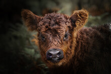 Baby Cow In The Wild
