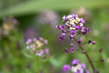 Lobularia Maritima, Variety Easter Bonnet. Flowering Plant In The Family Brassicaceae. Its Common Name Is Sweet Alyssum Or Sweet Alison