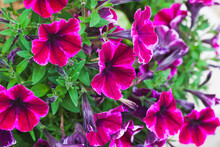 Purple Red Petunia Flowers, Close-up Photo