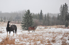 Two Clydesdale Horses Stand In Pasture During A Snow Storm