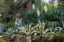 Large American Agave And Flowering Yucca In A Flowerbed On A Sunny Day, Surrounded By Stones And Other Greenery. Landscape Design.