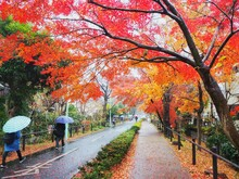 Pedestrian/cycling Road With Maple Trees In Fall