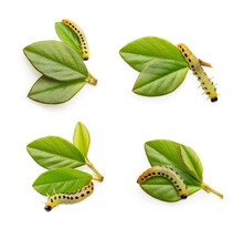 Caterpillar On A Green Leaf Isolated On White Background.