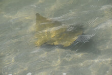 Cownose Rays Swimming In Shallows In The Gulf Of Mexico