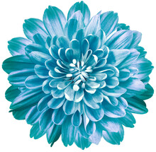Flower Blue Chrysanthemum . Flower Isolated On A White Background. No Shadows With Clipping Path. Close-up. Nature.