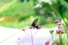 The Red-black Butterfly Was Eating The Nectar From The Non-pink Flowers.