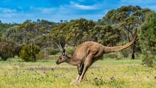 Kangaroo Jumping Across Springtime Meadow