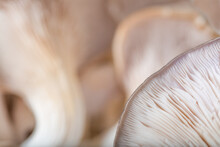 Mushrooms Oyster Mushroom Close-ups Of Visual Dishes, Autumn, Concept Of Veggie And Raw Food