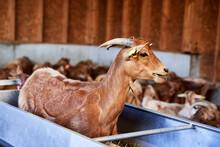 Goat In Feeder At Farm