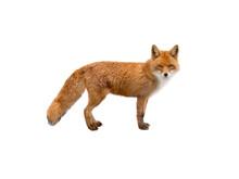 Beautiful Fox Of Orange Color Isolated On White Background