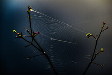 Morning Spider Web On A Wildflower In The Swamp
