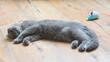 Kot brytyjski niebieski, młody szary kot śpiący na podłodze, z pluszową zabawką, myszką w tle